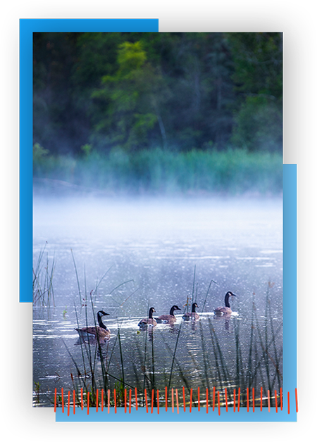 Image of Ducks in Pond